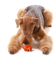 Free Dog Airedale Royalty Free Stock Images - 16179219