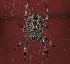 Free Garden Spider Stock Image - 16179931