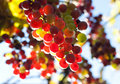 Free Bunch Of Colorful Grapes Royalty Free Stock Images - 16185939