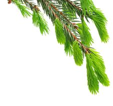 Free The Green Spruce Branch Stock Photography - 16181042