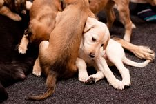 Free Playing Saluki Pups Stock Images - 16181624