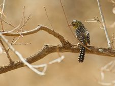 Free D´Arnaud´s Barbet Perching In The Sun Stock Photos - 16181973