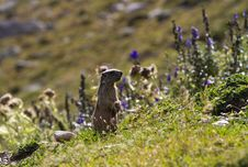 Free Marmot Royalty Free Stock Photos - 16182338