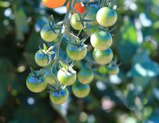 Free Cherry Tomatoes On The Vine Stock Photo - 16183690
