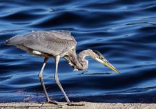 Free Great Blue Heron Royalty Free Stock Photos - 16185618