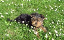 Free Yorkshire Terrier Stock Images - 16187104
