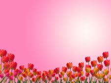 Free Tulips On Pink Background. Clipping Path Stock Photography - 16188032