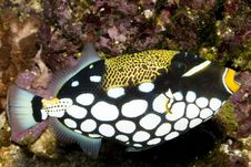 Clown Triggerfish In Aquarium Stock Images