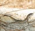 Free Lizard Royalty Free Stock Photo - 16195775