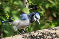 Free Blue-jay Royalty Free Stock Images - 16196099