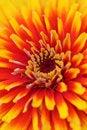 Free Zinnia Flower Background Stock Photos - 16196563