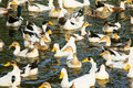 Free Ducks Royalty Free Stock Image - 16199246