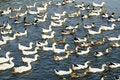 Free Ducks Royalty Free Stock Photos - 16199768