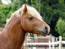 Free Brown Horse Royalty Free Stock Photo - 16190315