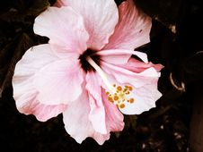 Free Hibiscus Royalty Free Stock Photography - 16190377