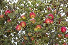 Free Ripe  Apples Growing On Tree Stock Image - 16190751