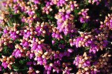 Free Heath Flowers Royalty Free Stock Image - 16191096