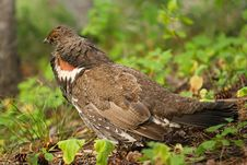 Free Franklin S Spruce Grouse Stock Photography - 16193282