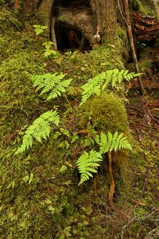 Ferns In Temperate Rainforest Royalty Free Stock Photography