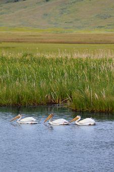Free White Pelican - Grand Teton NP Stock Photography - 16193432