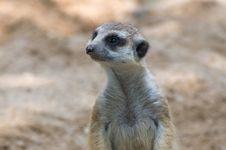 Free Meerkat. Stock Images - 16193744