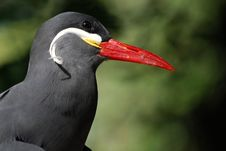 Free A Striking Inca Tern (Larosterna Inca) Royalty Free Stock Photos - 16193998