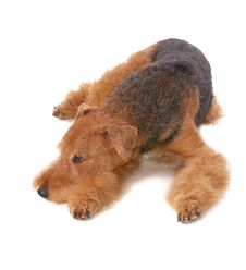 Free Dog Airedale Royalty Free Stock Photos - 16194318