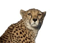 Free Head Of A Cheetah Royalty Free Stock Photography - 16194587