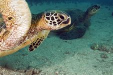 Free Green Sea Turtle Royalty Free Stock Photo - 16195035