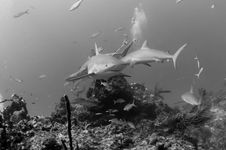 Free Caribbean Reef Sharks Stock Photos - 16195043