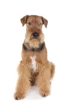 Free Dog Airedale Stock Image - 16195111