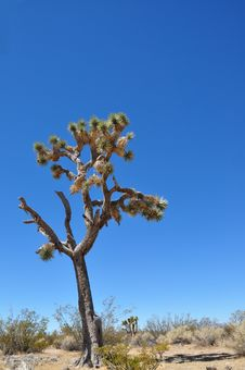 Free Joshua Tree 3 Royalty Free Stock Photos - 16195328