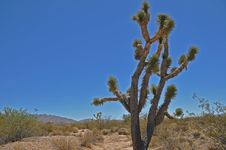 Free Joshua Tree Royalty Free Stock Photo - 16195335