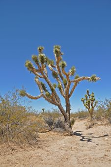 Free Joshua Tree 4 Stock Images - 16195344