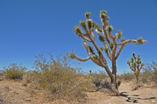 Free Joshua Tree 6 Royalty Free Stock Photo - 16195355