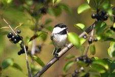 Free Black-capped Chickadee Stock Photos - 16196063