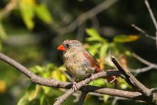 Free Cardinal Female Royalty Free Stock Images - 16196179