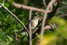 Free House Sparrow Royalty Free Stock Image - 16196266
