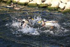 Free Mallard Duck Anas Platyrhynchos Stock Image - 16196371