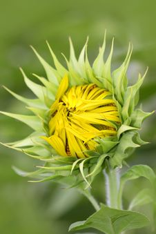 Free Sunflower Bud Royalty Free Stock Photography - 16196557