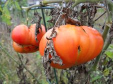 Free Red Vine Tomatoes Royalty Free Stock Photo - 16198895