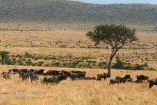Free Kenya S Maasai Mara Animal Migration Stock Images - 16199364