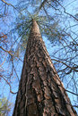 Free Giant Pine Royalty Free Stock Photos - 1624198