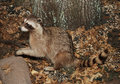 Free Racoon Royalty Free Stock Photos - 1625228
