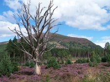 Free Dead Tree In Heather Stock Image - 1620471