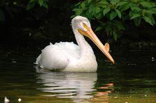 Free Swimming Pelican Royalty Free Stock Image - 1620616