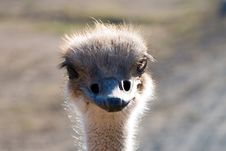 Free Close Up Of An Ostrich Royalty Free Stock Images - 1620669