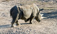 Free White Rhinoceros Stock Photos - 1620683