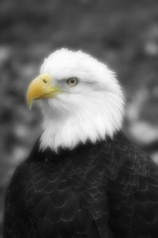 Free Eagle Royalty Free Stock Photos - 1621748