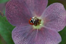 Free Lady Bug Royalty Free Stock Photo - 1622205